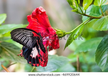 Beautiful black butterfly on a red flower