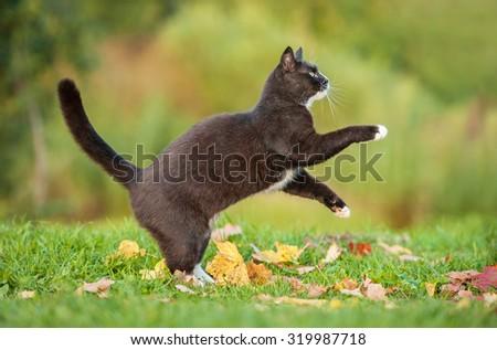 Beautiful black cat playing in autumn - stock photo