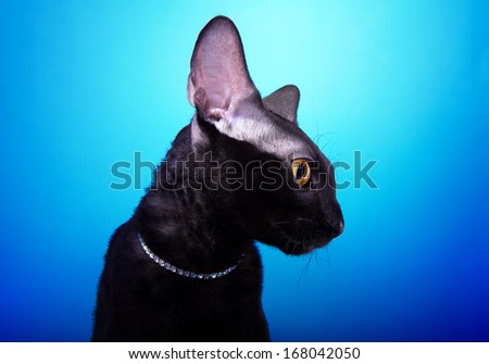 Beautiful black Cornish Rex cat is isolated on a blue background. - stock photo