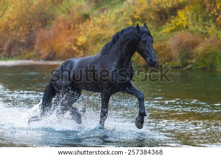Beautiful black Frisian stallion rinning in the river in autumn landscape  - stock photo