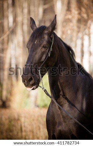 Beautiful black horse