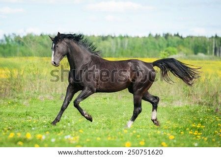 Beautiful black horse running on the pasture in summer - stock photo