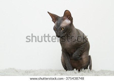 beautiful black housebroken cat breed Don Sphynx Canadian or sitting on a plush carpet in the living room and looks forward - stock photo