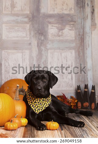 Beautiful black lab lying next to some pumpkins and gourds.  Room for your text. - stock photo