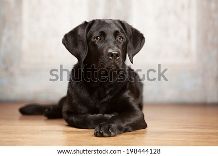 Beautiful black lab puppy lying on a wood floor.  Room for your text. - stock photo