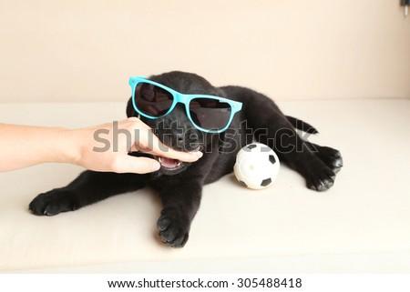 Beautiful black labrador puppy bite girl hand, close up - stock photo