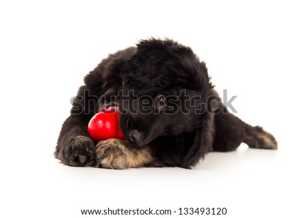 beautiful black labrador puppy chewing on a red toy - stock photo