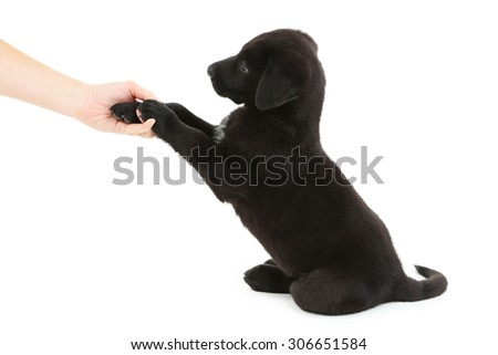 Beautiful black labrador puppy gives paw on white background - stock photo