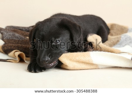 Beautiful black labrador puppy on plaid