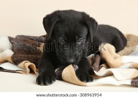 Beautiful black labrador puppy on plaid - stock photo