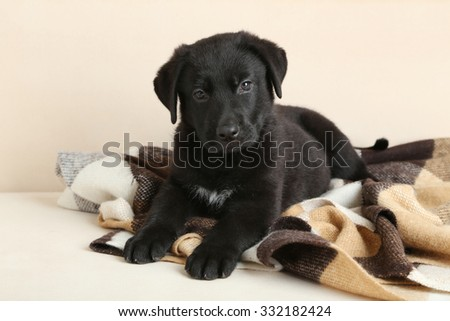 Beautiful black labrador puppy on plaid - stock photo