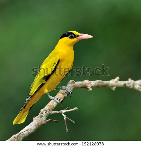 Beautiful Black-naped Oriole, colorful and bright yellow bird (Oriolus chinensis)