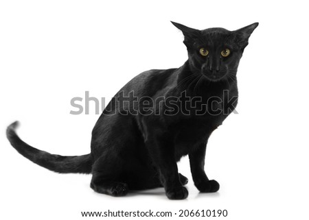 Beautiful black oriental cat isolated over white background - stock photo