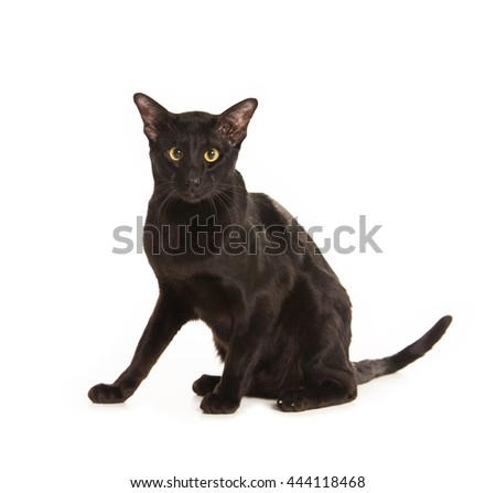 Beautiful black oriental cat isolated over white background