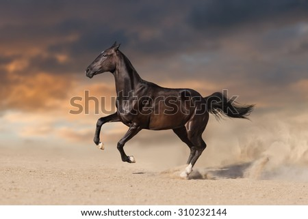 Beautiful black  stallion horse running in desert - stock photo