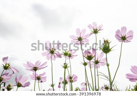 beautiful bloom cosmos flower - stock photo