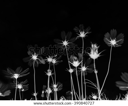 beautiful bloom cosmos flower in black background