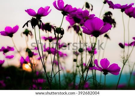 beautiful bloom cosmos flower sunset background. - stock photo