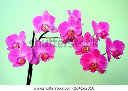 Beautiful bloom of red fresh orchid flower. Closeup.