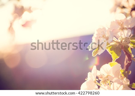 Beautiful blooming Apple trees in spring on a Sunny day. soft focus, natural blur - stock photo