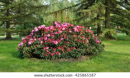 Beautiful blooming azalea - rhododendron (Rhododendron)