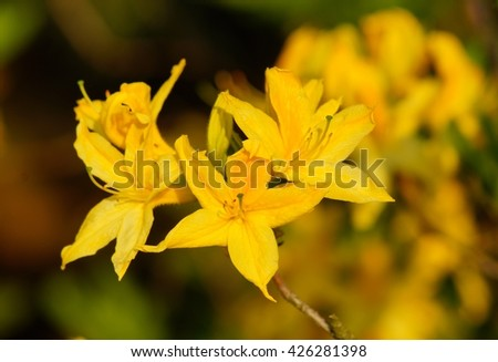 Beautiful blooming azalea - rhododendron (Rhododendron) - stock photo