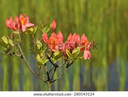 Beautiful blooming azaleas and rhododendrons in the garden - orange azalea - stock photo