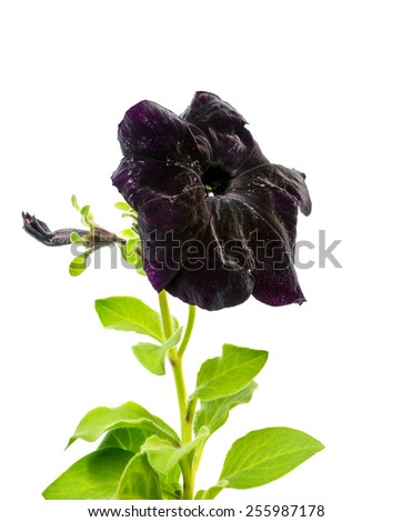 beautiful blooming black petunia flower is isolated on white background - stock photo