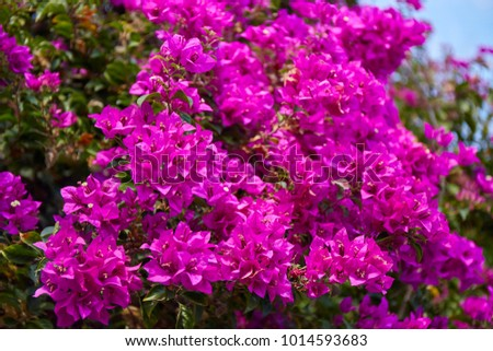 Beautiful blooming Bougainvillea flowers