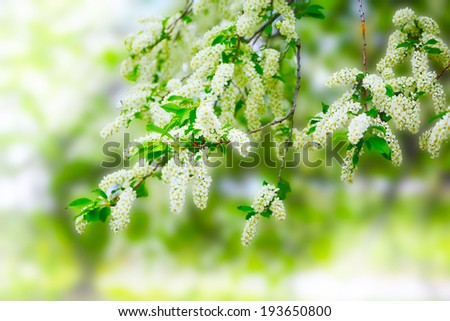 beautiful blooming branch of bird cherry on a sunny spring day - stock photo