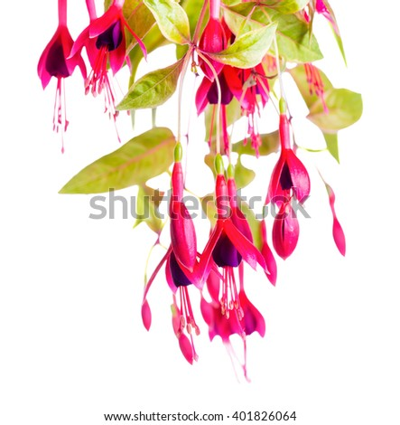 beautiful blooming branch of red and violet fuchsia flower magellanica is isolated on white background, `Gold Mountain`, close up - stock photo