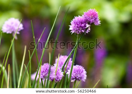 Beautiful blooming chives, shot in garden.