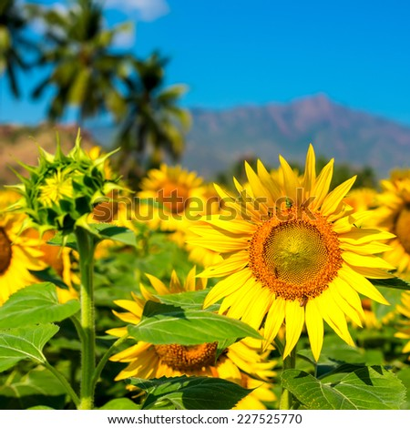 Beautiful blooming field of sunflower background with blue sky and mountains in India, closeup   - stock photo