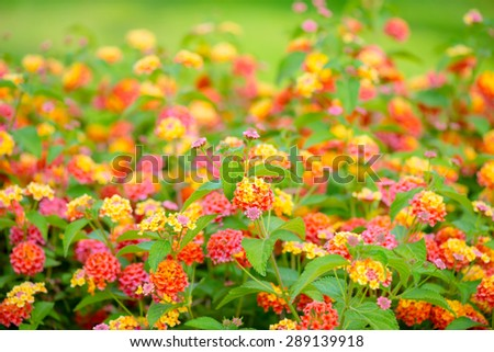 beautiful blooming Lantana camara, blur flowers background, closeup - stock photo