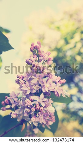 Beautiful blooming lilac bush in the garden, tinted - stock photo