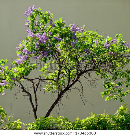 beautiful blooming lilac bush on a gray background on a sunny day - stock photo