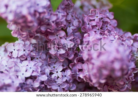 beautiful blooming lilac in the parks and gardens - stock photo