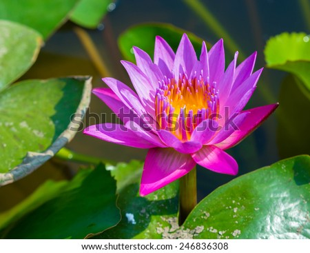 beautiful Blooming lotus flower - stock photo