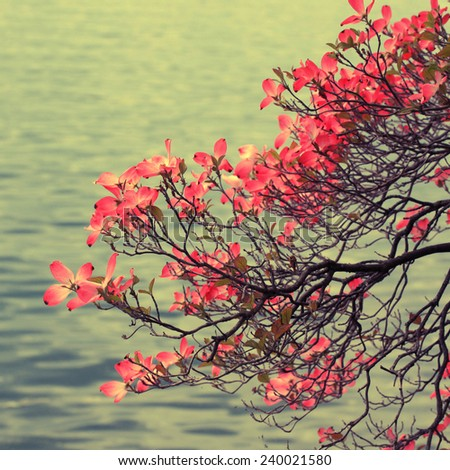 Beautiful blooming magnolia branch on lake background. Square toned image, instagram effect - stock photo