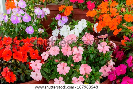 beautiful blooming multicolored Impatiens flowers in containers - stock photo