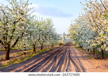 Beautiful blooming of cherry trees in spring. Hungary - stock photo