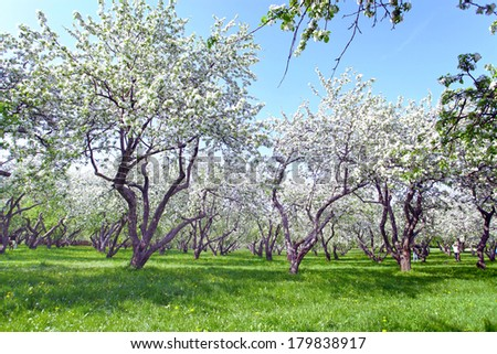 Beautiful blooming of decorative white apple and fruit young trees over bright blue sky in colorful vivid spring park full of green grass by dawn early light with first sun rays, fairy heart of nature