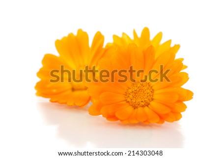 Beautiful blooming orange calendula on white background - stock photo