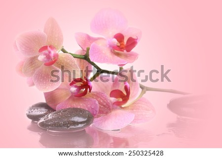Beautiful blooming orchid with spa stones on pink background - stock photo
