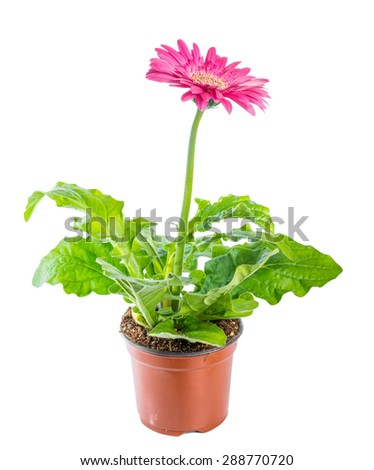 beautiful blooming pink flower gerbera in flowerpot is isolated on white background, closeup - stock photo