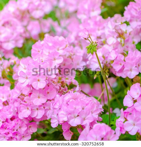 beautiful blooming pink geranium flower like as background, closeup  - stock photo