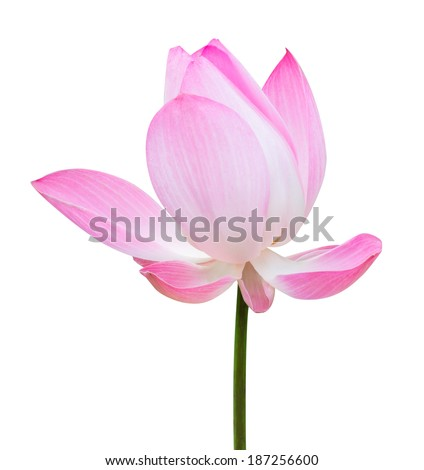 Beautiful blooming pink lotus isolated on white background