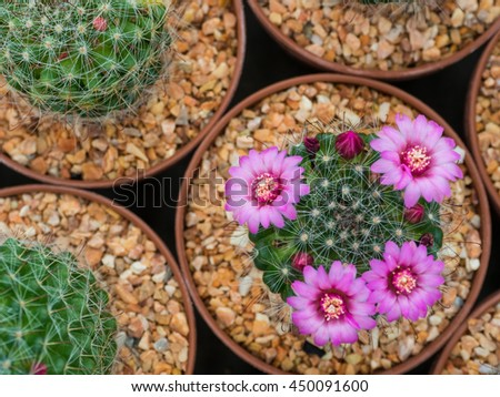 Beautiful blooming purple cactus flower  - stock photo
