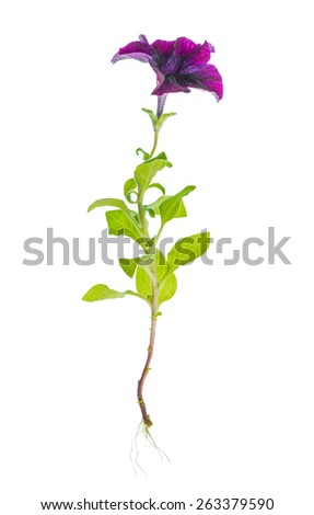 beautiful blooming purple petunia flower with roots is isolated on white background - stock photo
