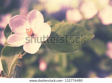 Beautiful blooming quince bush in the garden - stock photo